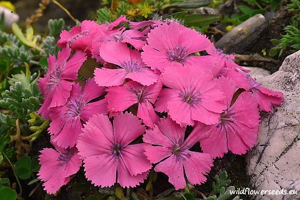 Dianthus glacialis subsp. gelidus
