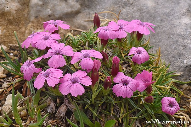 Dianthus microlepis var. musalae