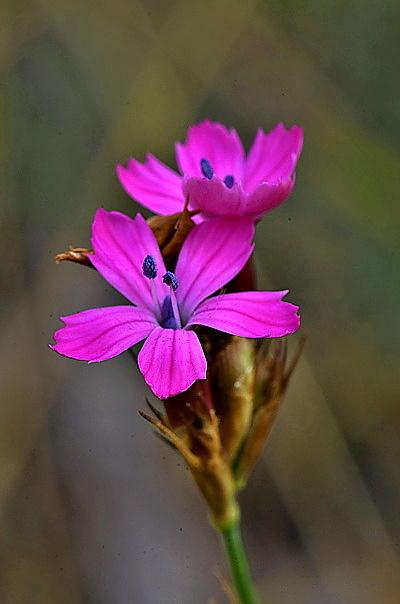 Dianthus pontederae