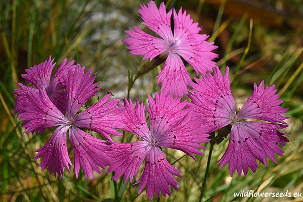 Dianthus sylvaticus
