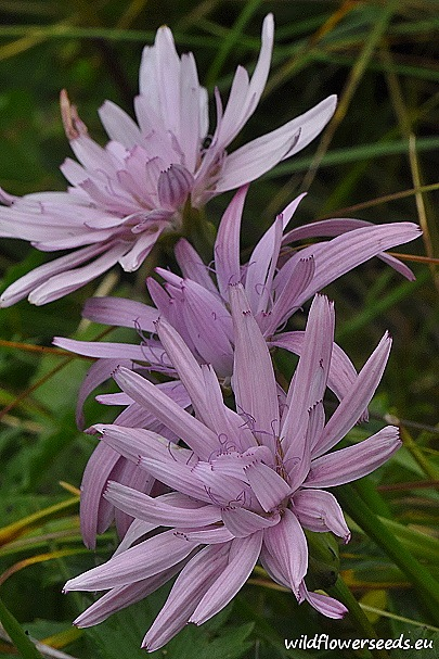 Scorzonera purpurea