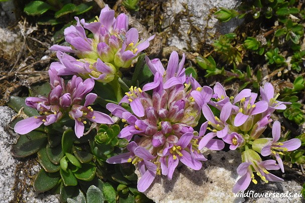 Thlaspi bellidifolium