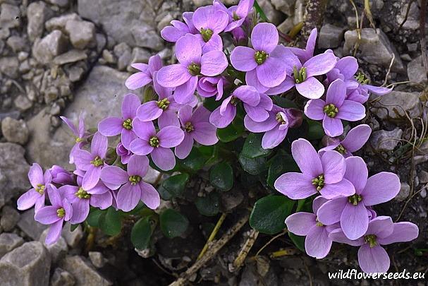 Thlaspi rotundifolium subsp. rotundifolium