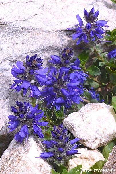 Veronica saturejoides