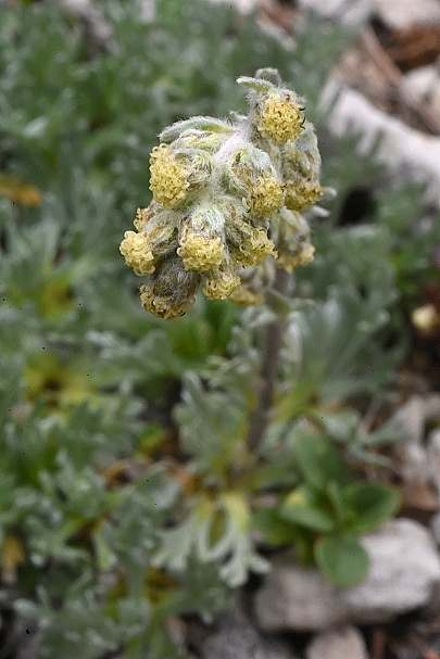 Artemisia petrosa subsp. carpatica