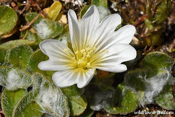 Cerastium eriophorum