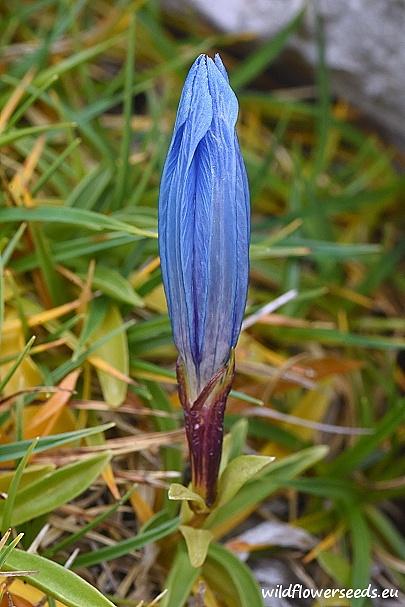 Gentiana froelichii